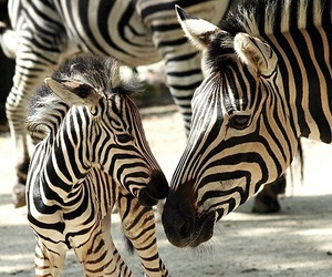zebra, animal, and baby image