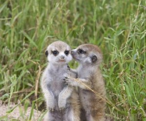 adorable, animals, and meerkat image