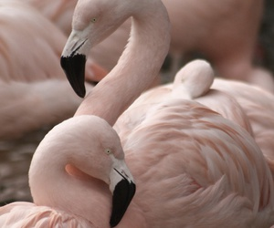 animals, flamingo, and pink image