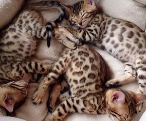 adorable, animals, and bengal image