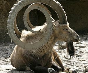 animal, horns, and funny image