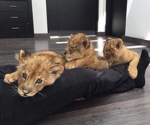 animal, cute, and lion image