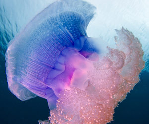 jellyfish and ocean image