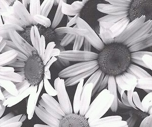black and white, grunge, and daisy image