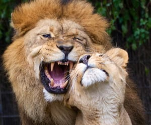 lion and love image