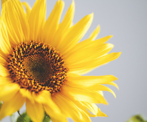 flores, flower, and sunflower image