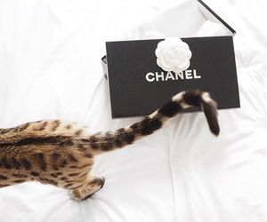 cat, chanel, and tumblr image