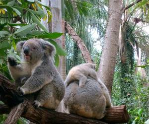 Koala, animal, and tree image