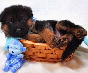 german shepherd, puppy, and mittelwest image