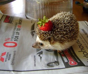 hedgehog, cute, and strawberry image