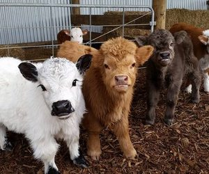 animal, cute, and cows image