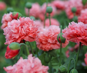 poppy and pink image