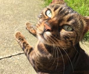 animals, bengal, and cat image