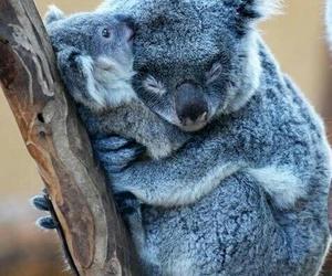 Koala, animal, and hug image