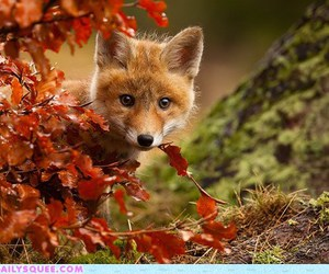fox, autumn, and animal image