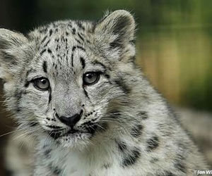 adorable, snow leopard, and habibi image