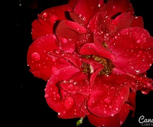 flower, night, and rose image