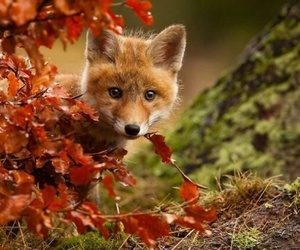 animals, autumn, and fox image