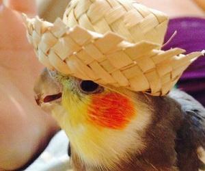 bird, cockatiel, and passaro image