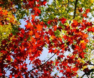 autumn, maple, and fall image