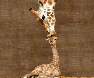 animal, giraffe, and kiss image