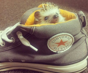 hedgehog and converse image