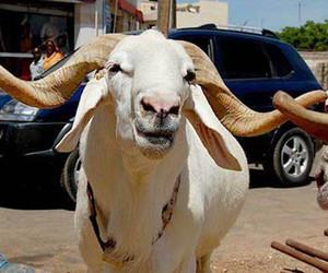 goat, images, and sacrifice image