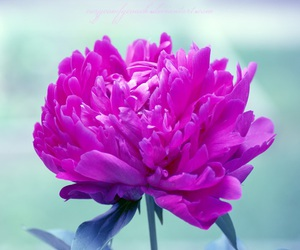 colors, flowers, and peony image