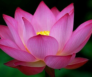 flowers, pink, and lotus image