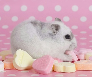 candy, hamster, and pretty image