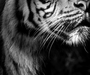 beautiful, black, and tiger image
