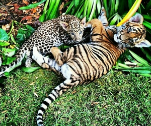 beautiful, cubs, and black jaguar white tiger image