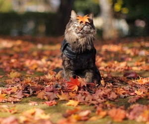 cat, fall, and autumn image