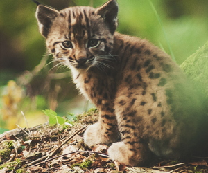 animal, cute, and lynx image