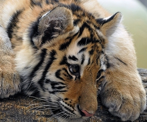 tiger, animal, and cute image