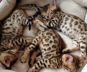 bengal, cat, and sleeping image
