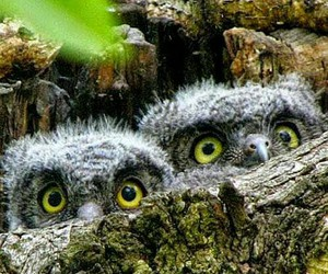 owls, peek a boo, and cute image