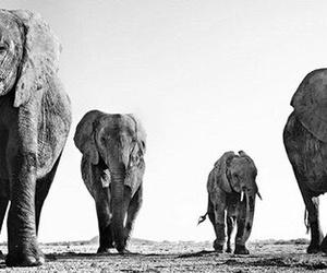 animal, elephant, and black and white image