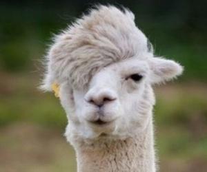 animal, llama, and love image