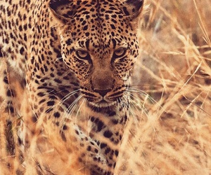 animals, leopard, and national geographic image