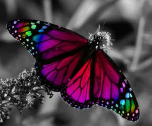 black and white, butterflies, and colors image