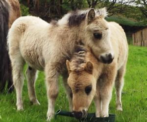 baby, pony, and shetland pony image