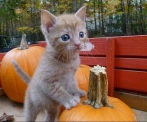 animal, autumn, and pumpkin image