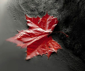 autumn, red leaf, and black and white image