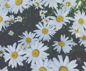 background, daisies, and flowers image