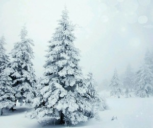 evergreen, forest, and landscape image