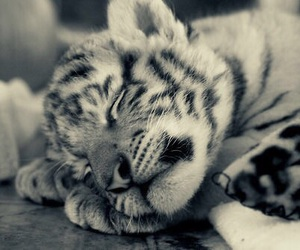 cute, tiger, and animal image