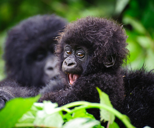 cute, baby, and gorilla image