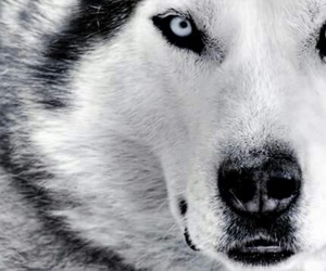 wolf, animal, and dog image