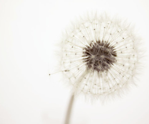dandelion, flowers, and white image